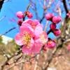 東灘・岡本の「岡本梅林公園」で春を先取り!梅のお花見を楽しんでみた♪ #岡本梅林公