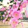 東灘・住吉川公園とその周辺は梅が満開!歩いてお花見散策を楽しんでみた! #東灘区 #