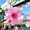 """東灘・魚崎の""""水辺の遊歩道・うおざき""""で「アーモンド並木の限定開放」のお花見を楽し"""
