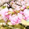 神戸岡本にある「桜守公園(岡本南公園)」の笹部桜が見頃を迎えたので、お花見してき