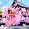 東灘・御影の弓弦羽神社のしだれ桜が見頃を迎え、境内の桜が花開き始めたよ♪ #弓弦羽