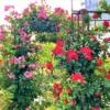 東灘「第10回六甲アイランドバラ祭り」2021年は規模を縮小して、5月8日~23日まで開催