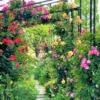 東灘「第10回六甲アイランドバラ祭り」で美しいバラを観覧してきた♪5月8日~23日まで